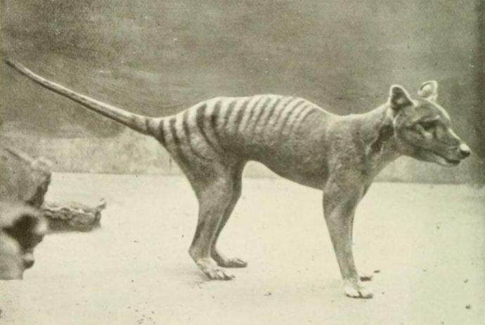 Vakovlk tasmánsky. Vyhynul v 20. storočí. FOTO - Wikimedia