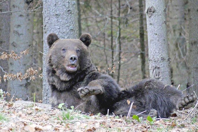 Medvede si hodujú na kukuričných poliach, takže sú vypasenejšie. Foto - ŠOP SR