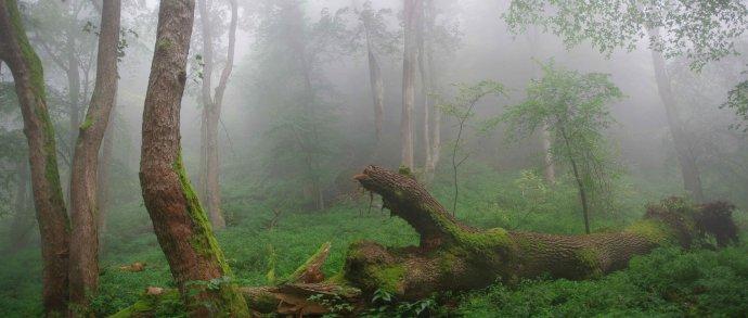 Prales Vlčích hôr na severovýchode Slovenska. Majú bresty, javory horské a jedle s rozmermi, o ktorých sa zvyšku Slovenska môže len snívať, píšu ochranári z Vlka. foto - Vlk