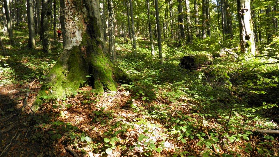 Stužický prales v Poloninách. Foto - TASR