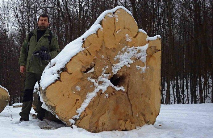 Dôkaz, že v pralesoch stále ťažia: Viliam Bartuš z Vlka s vyrúbaným stromom v lokalite Rožok. Foto – VLK