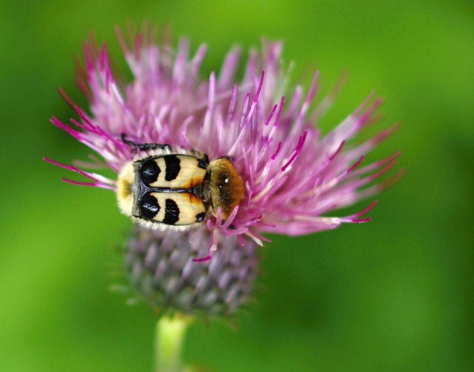 Peľom sa živí aj mnoho chrobákov (Coleoptera). Druhom, ktorý môžeme nájsť na kvetoch okrajov lesov, je chlpáčik škvrnitý (Trichius fasciatus). Jeho larvy sa vyvíjajú v starom dreve listnatých stromov. Dospelé jedince pripomínajú sfarbením nebezpečné (žihadlom a jedom disponujúce) blanokrídlovce. Foto - archív Peter Manko