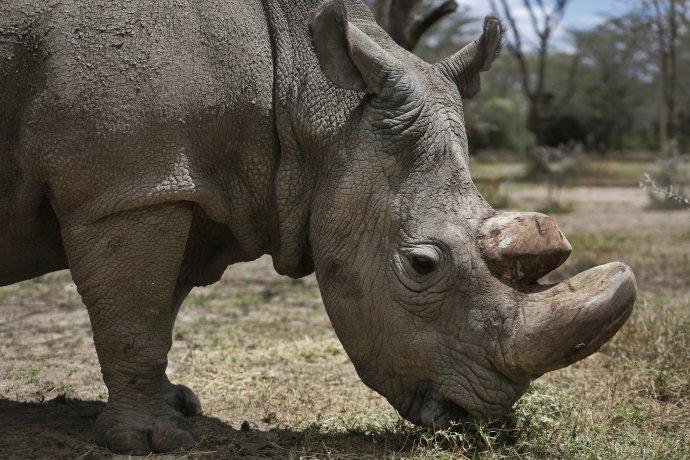 Vo voľnej prírode žije iba 20-tisíc nosorožcov tuponosých. Foto – TASR/AP
