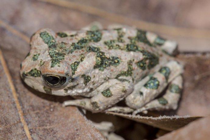 Ropucha Bufotes cypriensis žije na Cypre. Foto – Daniel Jablonski