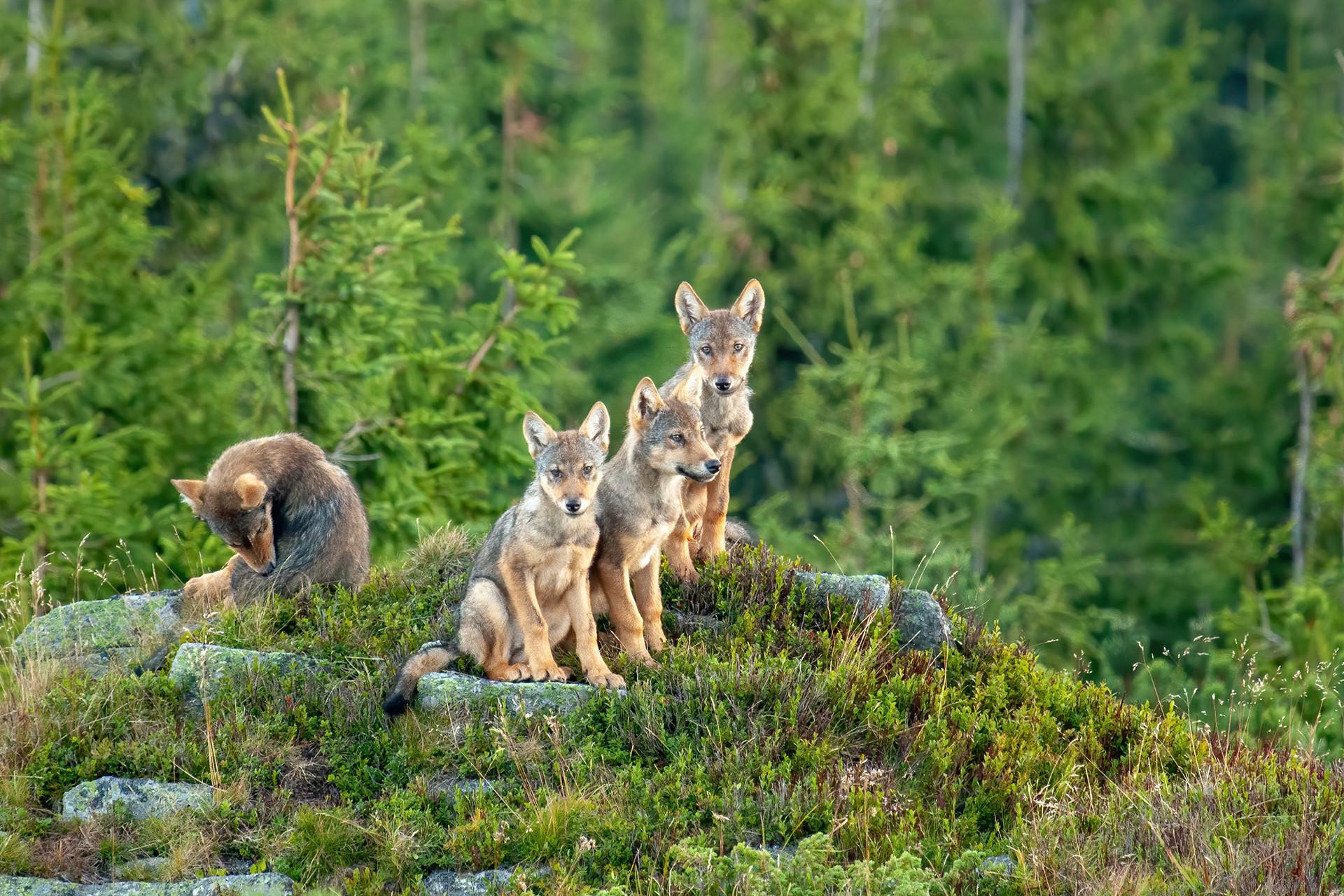 Nový boj o vlka na Slovensku: Je hanba, že zabíjame symbol divočiny, vravia  ochranári