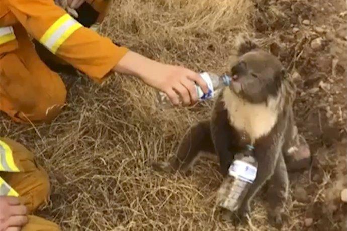 Koala zachránená pri lesných požiaroch v Austrálii, záber je z 22. decembra 2019. Foto – TASR/AP