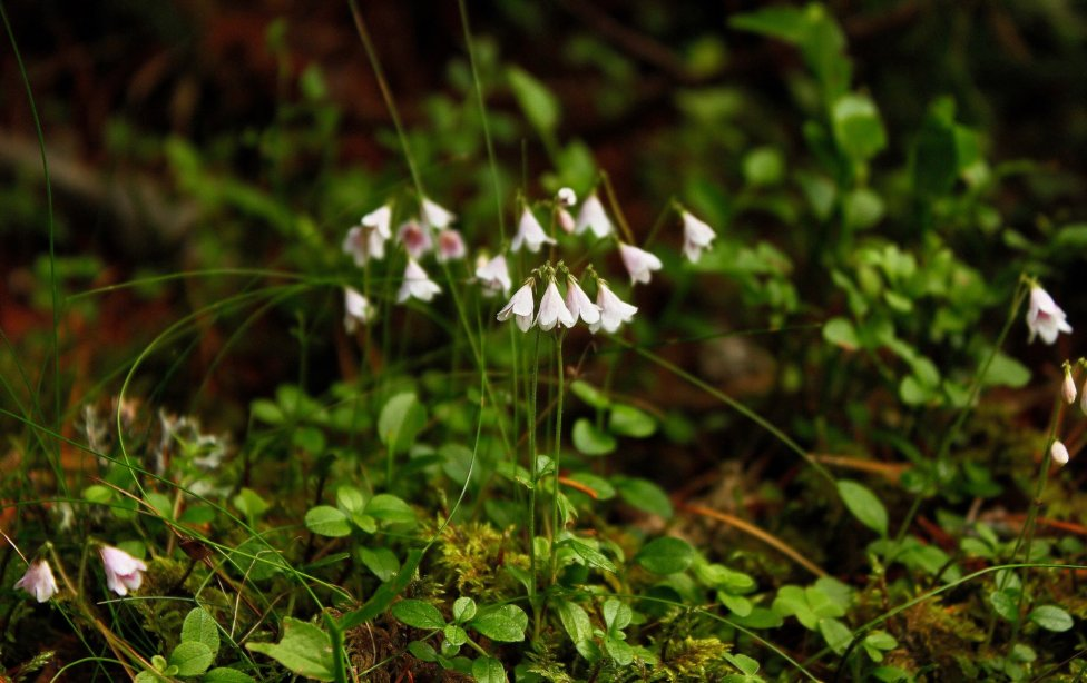 Linnéovka severná rastie na Slovensku len vo Vysokých a Nízkych Tatrách. Obľubuje chladné lokality, kde sa dlho drží sneh. Foto - Marián Jasík