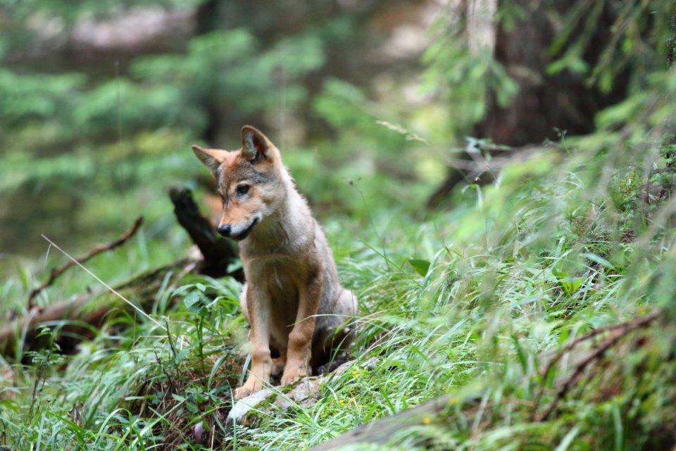 Vlk dravý. Foto – Karol Kaliský