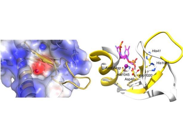 Štruktúra katalytického centra nukleázovej domény proteínu ZRANB3 (zdroj: Sebesta et al., Nature Comms, 2017)