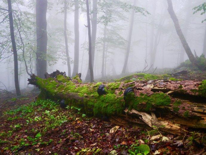 Mŕtve drevo osídľujú huby, lišajníky a machy, slúži aj ako hnojivo. V územiach so šetrnejším hospodárením lesníci všetky kmene nevytiahnu. Foto – Soňa Mäkká