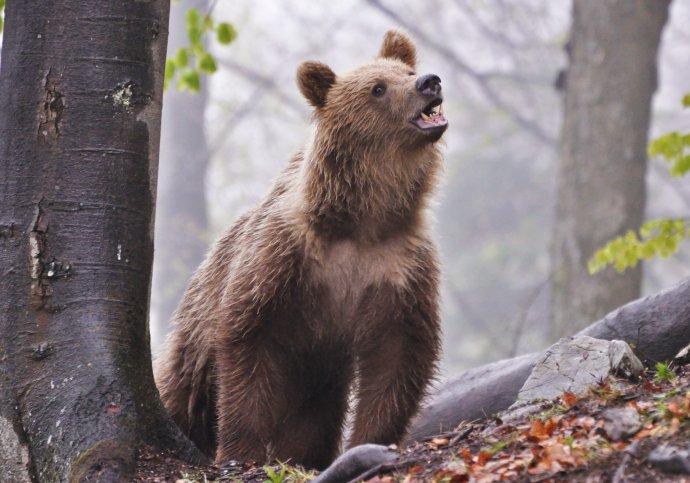 Medveď hnedý. Foto – Jaroslav Slašťan