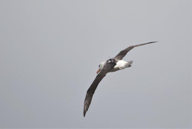 Albatros so zariadením. Foto: Henri Weimerskirch/CNRS