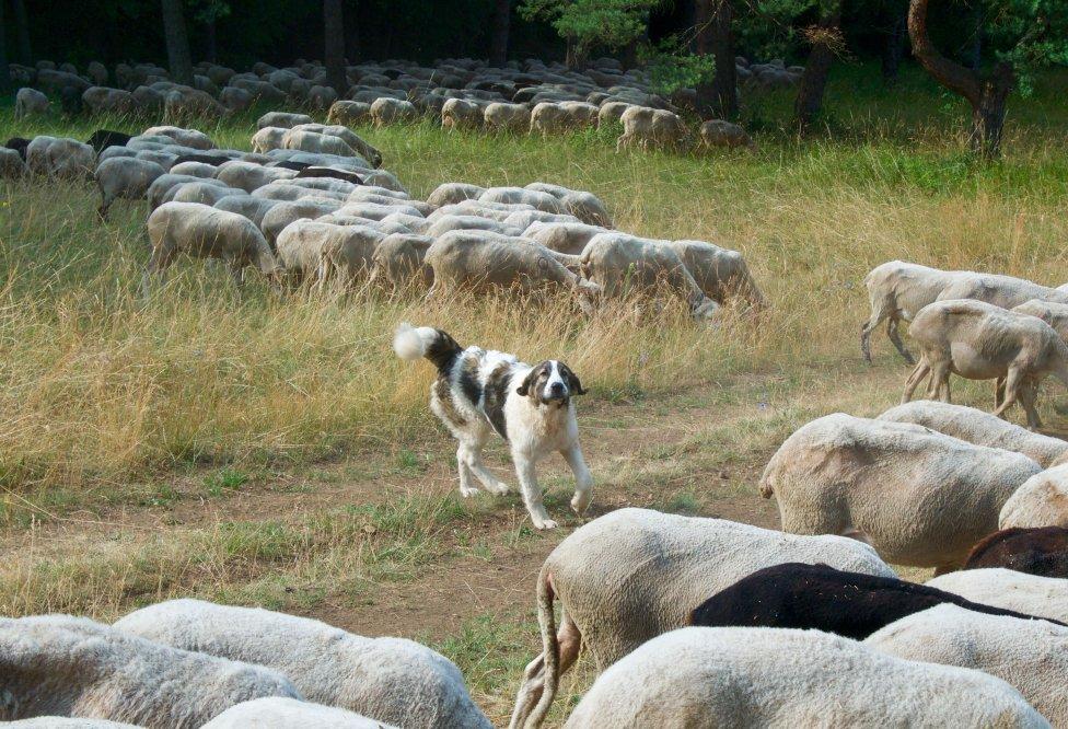 Pastiersky pes pri stáde nad Banskou Bystricou. Foto – Soňa Mäkká