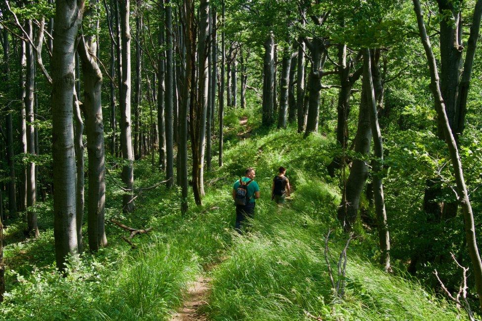 Staré buky na hrebeni Vihorlatu pamätajú ešte grófov. Foto – Soňa Mäkká