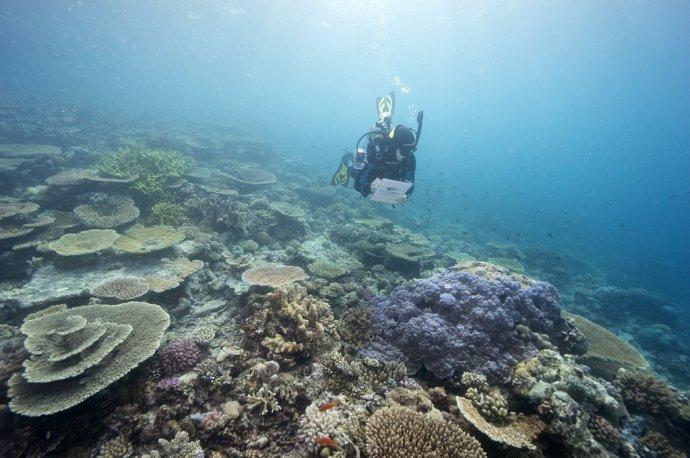 Potápač monitoruje zdravie koralov v austrálskej Veľkej koralovej bariére. Foto: TASR/AP