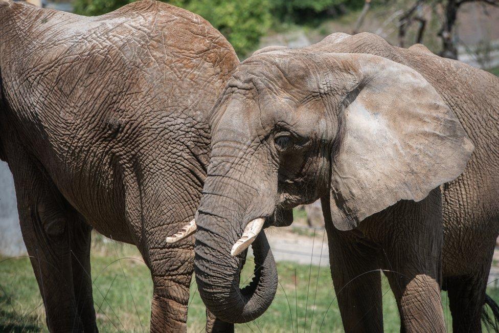 Jediné slony žijúce na Slovensku pochádzajú z voľnej prírody. V Bojniciach žijú od roku 1984. Foto N - Tomáš Hrivňák