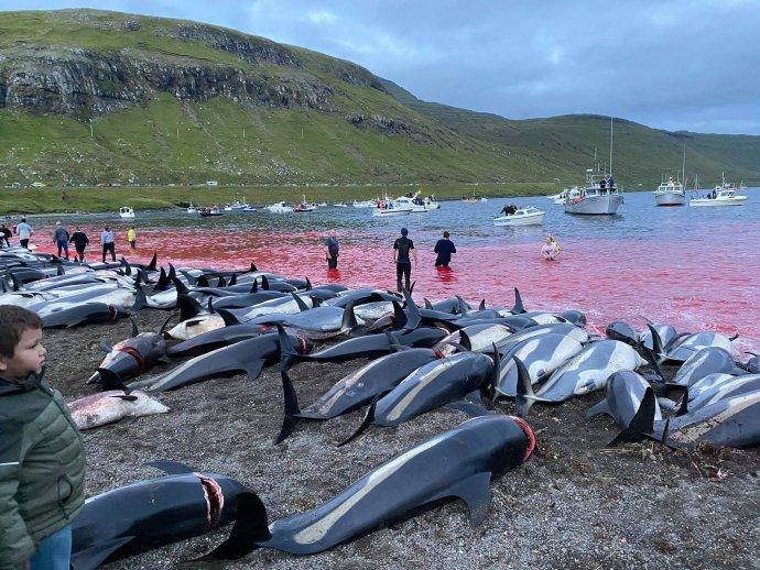 Na snímke delfíny, ktoré zabili počas tradičného lovu grindadráp na ostrove Eysturoy, patriacom Farským ostrovom v nedeľu. Foto - tasr/ap