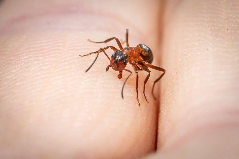 Mraver druhu Formica Execta má silné hryzadlá, vďaka ktorým vie prestrihnúť list, aj vcelku bolestivo uhryznúť človeka, či medveďa. Foto N - Tomáš Benedikovič