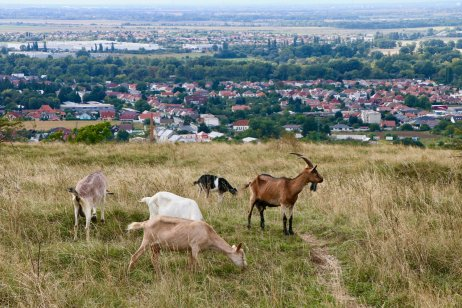 Kozy na Sedliskách pri Hlohovci. Foto – Soňa Mäkká